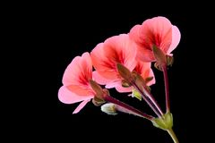 Крупный план красивого розового цветка Стоковые Фотографии RF