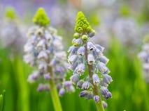 Крупный план красивого цветка mascari цвета цветастый сад Стоковые Фото