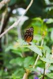 Крупный план красивой детальной бабочки на лист Стоковое Фото