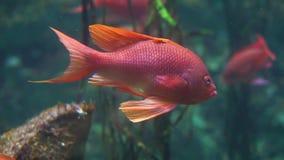 Крупный план красивой и красочной тропической рыбы плавая в аквариуме, экзотического specie рыб видеоматериал