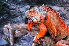 Крупный план красивой красочной игуаны в terrarium гад Стоковые Фотографии RF