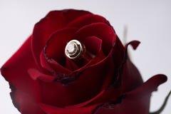 Крупный план красивой романтичной красной розы с кольцом золота свадьбы диаманта Стоковые Фотографии RF