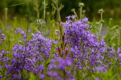 крупный план красивых фиолетовых красных цветков с предпосылкой нерезкости Стоковые Изображения