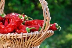 Крупный план красного перца в корзине корзины outdoors на солнечный день стоковые фотографии rf