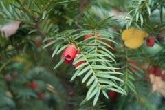 Крупный план красного похожего на ягод конуса семени yew стоковые изображения