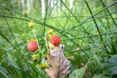 Крупный план красного Fragaria или одичалая клубника в лесе лета стоковые изображения rf
