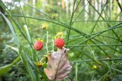 Крупный план красного Fragaria или одичалая клубника в лесе лета стоковое изображение