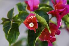 Крупный план красных, пурпурных орхидные орхидеи Tahitian стоковая фотография rf