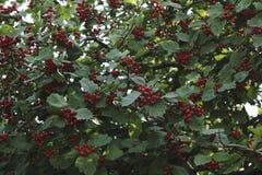 Крупный план красных ягод боярышника на ветви Стоковое фото RF