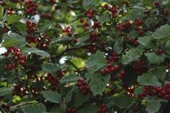 Крупный план красных ягод боярышника на ветви Стоковые Фотографии RF