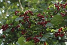 Крупный план красных ягод боярышника на ветви Стоковые Фото