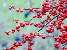 Крупный план красных ягод на ветви с капельками воды Стоковое Фото