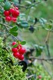 Крупный план красных lingonberries Стоковые Фото