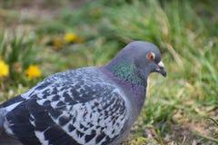 Крупный план красочного серого голубя Стоковое фото RF