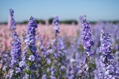 Крупный план красочных delphiniums в поле на фитиле, Pershore, Вустершире, Великобритании Лепестки использованы для того чтобы сд стоковое фото rf