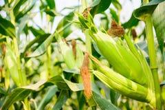 Крупный план кукурузного початка готовый для сбора, кукурузного поля, фермы мозоли Стоковое Фото