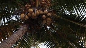 Крупный план ладони Coconu на времени захода солнца Остров Бали сток-видео