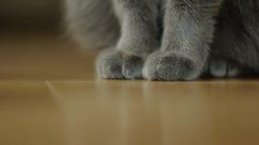 Крупный план лапки пушистого серого кота сидя в комнате на поле партера деревянном Кот получает поднимающим вверх и выходит сток-видео