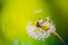 Крупный план лета цветков и луга одуванчика яркий ландшафт Вдохновляющая предпосылка знамени природы Стоковая Фотография RF