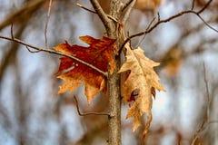 Крупный план 2 листьев дуба вися от ветви дерева в древесинах в солнечном свете после полудня Стоковые Фотографии RF