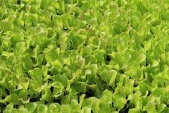 Крупный план листьев младенца салата Стоковое Изображение