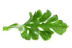 Крупный план лист арбуза Стоковые Изображения