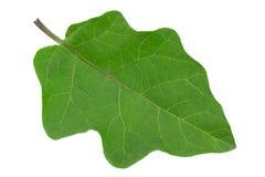 Крупный план лист баклажана на белизне Стоковое Фото