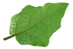 Крупный план лист баклажана на белизне Стоковая Фотография