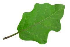 Крупный план лист баклажана на белизне Стоковые Изображения