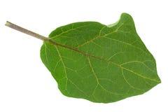 Крупный план лист баклажана на белизне Стоковая Фотография RF
