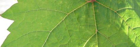 Крупный план лист лозы, вена зеленых лист, природа, завод стоковые изображения