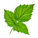 Крупный план лист плодоовощ ежевики стоковое фото rf