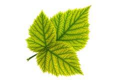 Крупный план лист плодоовощ ежевики стоковые изображения