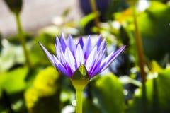 Крупный план лист природы цветка лотоса стоковое фото