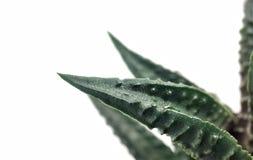 Крупный план макроса кактуса Haworthia суккулентный на белой предпосылке стоковое фото rf