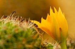 Крупный план макроса цветка кактуса стоковая фотография
