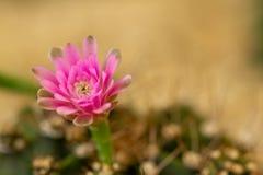Крупный план макроса цветка кактуса стоковое фото rf