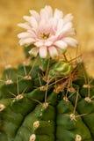 Крупный план макроса цветка кактуса стоковые фото