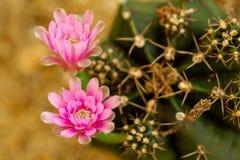 Крупный план макроса цветка кактуса стоковые изображения