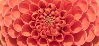 Крупный план малинового цветеня георгина Стоковые Изображения RF