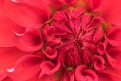 Крупный план малинового цветеня георгина Стоковое Изображение