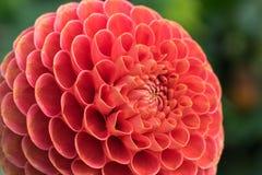 Крупный план малинового цветеня георгина Стоковые Изображения