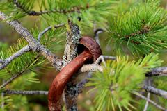Крупный план малого коричневого гриба окруженного елевыми терниями природа предпосылки красивейшая зеленая Стоковые Изображения RF