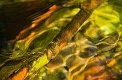 Крупный план малой ветви в потоке воды на восходе солнца в парке Topcider, Белграде Стоковые Фото