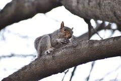 Крупный план милой коричневой белки на дереве в парке в Вашингтоне на солнечный весенний день Стоковые Изображения