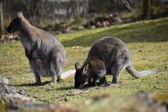 Крупный план 2 милых коричневых кенгуру сидя на зеленом луге Стоковые Фотографии RF