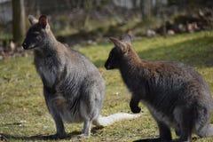 Крупный план 2 милых коричневых кенгуру сидя на зеленом луге Стоковое Изображение RF