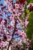 Крупный план миндального дерева в цветени с цветком цветет небесно-голубой пинк b стоковая фотография rf