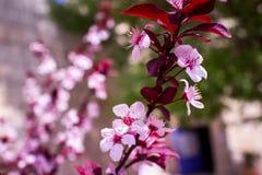 Крупный план миндального дерева в цветени с цветком цветет небесно-голубой пинк b стоковое фото