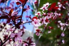 Крупный план миндального дерева в цветени с цветком цветет небесно-голубой пинк b стоковые изображения rf